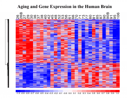 Aging and Gene Expression in the Human Brain