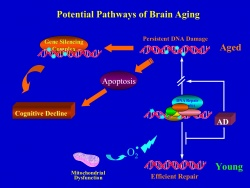 Potential Pathways of Brain Aging