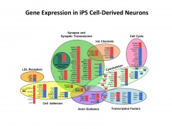 Gene Expression in iPS Cell-Derived Neurons